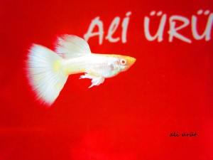 Ali_Urut30